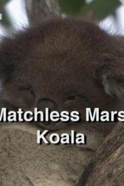 Caratula, cartel, poster o portada de El incomparable marsupial: El koala