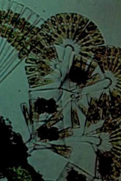 Caratula, cartel, poster o portada de Diatoms