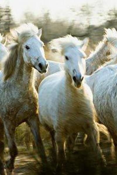 Caratula, cartel, poster o portada de Le songe de chevaux sauvages